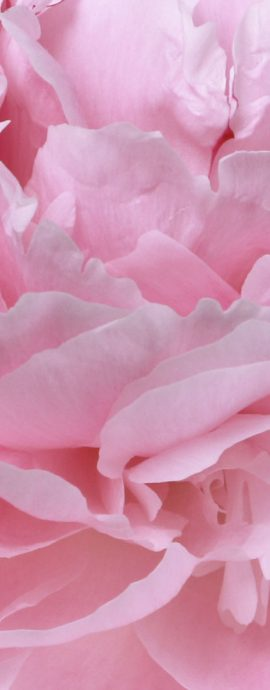 French Photographer Paris Studio Packshot Nature Photography Close-up Heart of Pink Peony