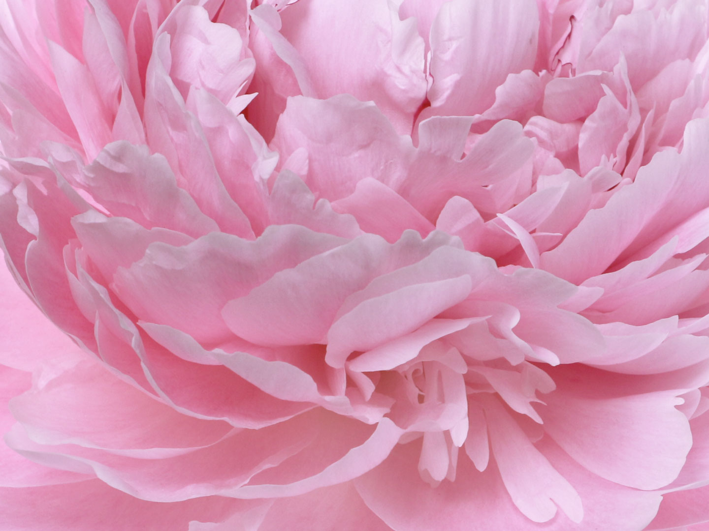French Photographer Paris Studio Packshot Nature Photography Close-up Heart of Pink Peony