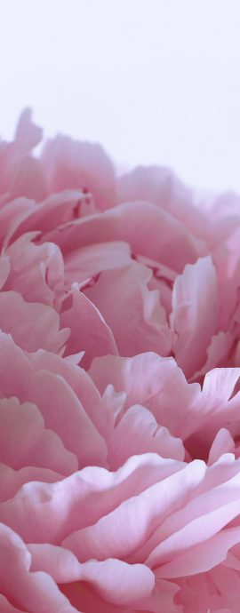 French Photographer Paris Studio Art Photography Close-up Pink Peony