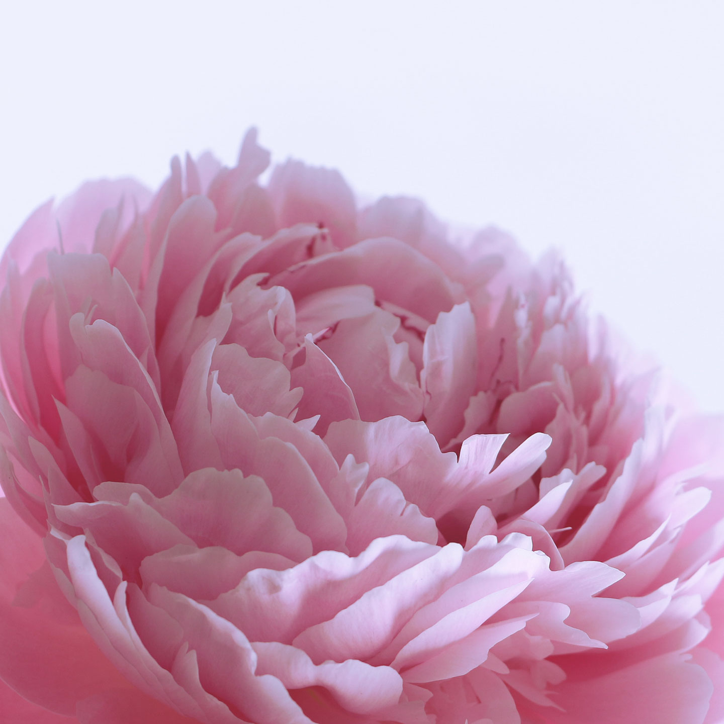 French Photographer Paris Studio Art Photography Close-up Pink Peony