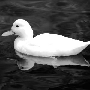French Photographer Nature Photography White Duck